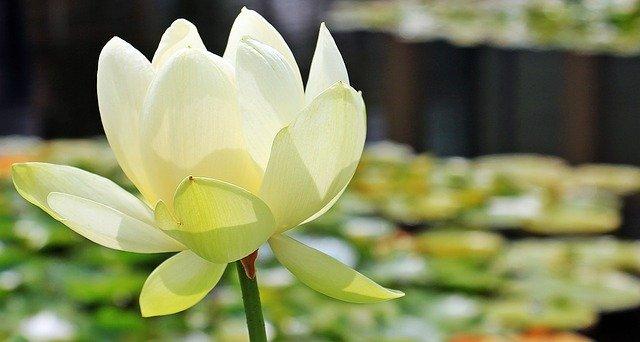 white lotus flowe